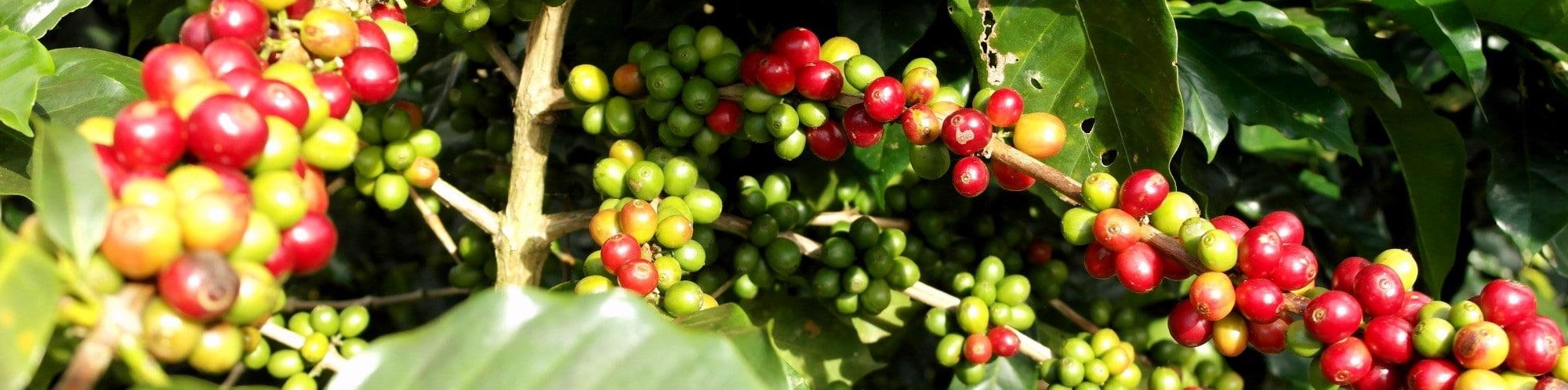 Where Does Coffee Grow - Coffee Geography