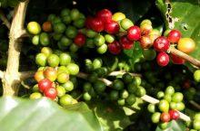 Where Does Coffee Grow – Coffee Geography